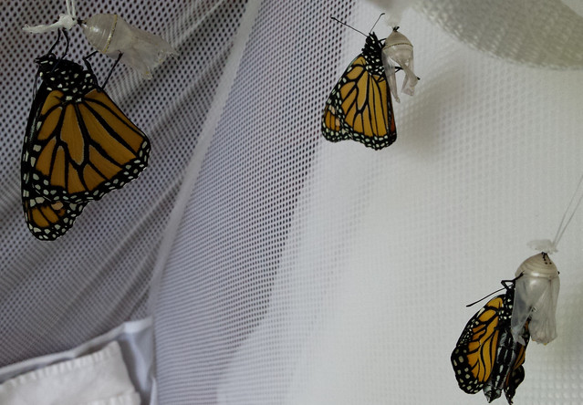 three brand-new monarchs hanging onto their chrysalises