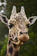 Giraffa camelopardalis DT [NZ Auckland Zoo] (4)