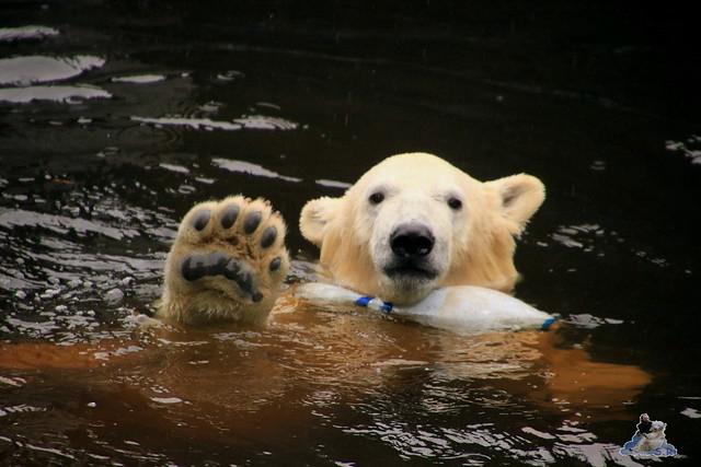 Eisbär Fiete im Zoo Rostock 17.10.2015  034