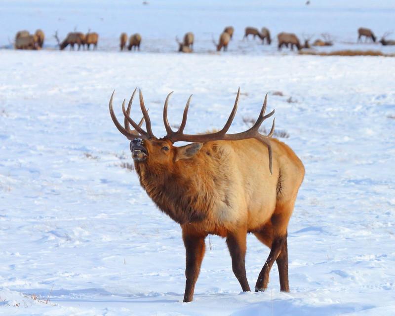 IMG_8961 Elk, National Elk Refuge