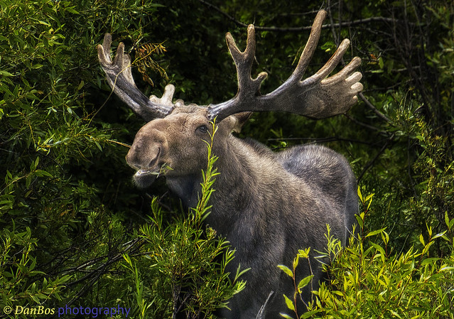 Royal Moose male having snack in the forest