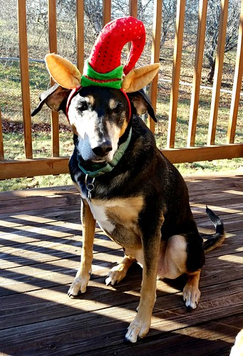 Senior Coonhound Mix in Elf Antlers - Lapdog Creations