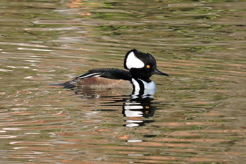 Hooded Merganser #98