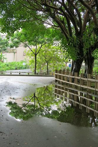 雨後菩提樹倒影
