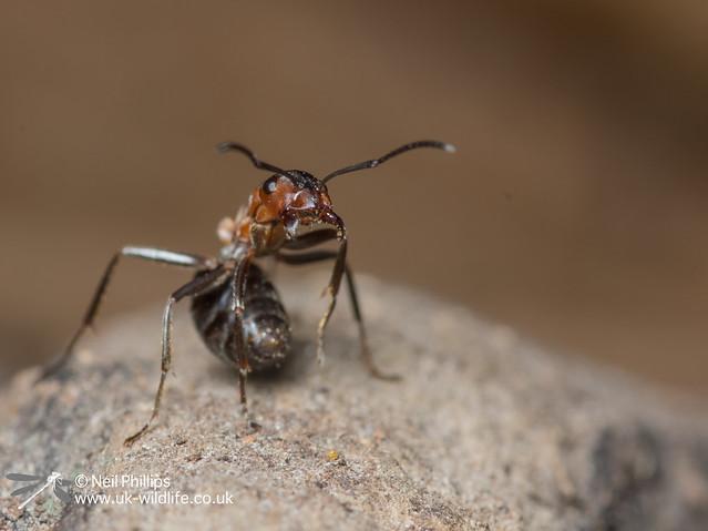 52 wood ant