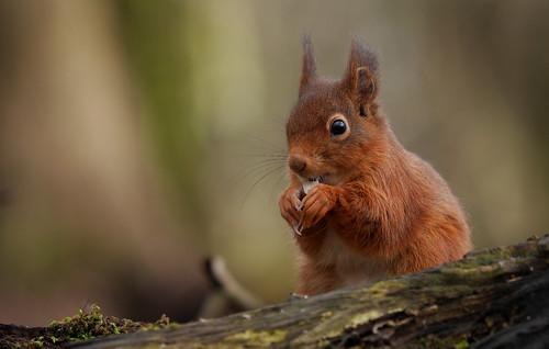 Red Squirrel (Sciurus vulgaris), Parc de Woluwé, Brussels