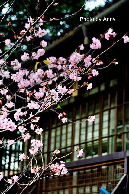 麗池櫻花70