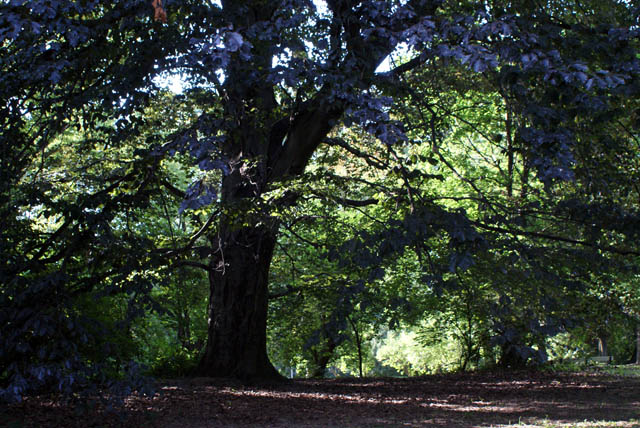 Un des majestueux arbres du parc Skaryszewski à Varsovie.