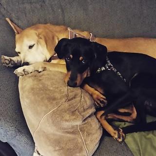 Good morning IG from Sophie & Penny. #sisterlylove #dogstagram #puppygram #rescueddogsofinstagram #houndmix #seniordog #dobermanpuppy #dobiemix #instapuppy #instahound #rescuedismyfavoritebreed #ilovemydogs #sleepypuppy #sleepingdogs #adoptdontshop