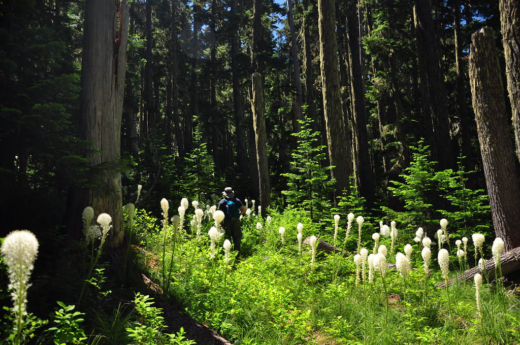 Beargrass in the forest