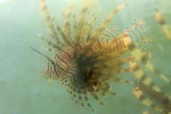 GS Marine Lab Lionfish 3
