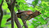 Juvenile female Northern Cardinal by RickykcWong