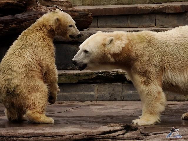 Eisbär Fiete im Zoo Rostock 19-09.2015 Teil 3  047