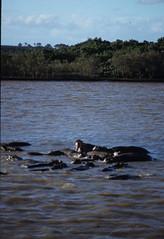 Hippopotamus amphibius DT [ZA St Lucia] 0112 (2)