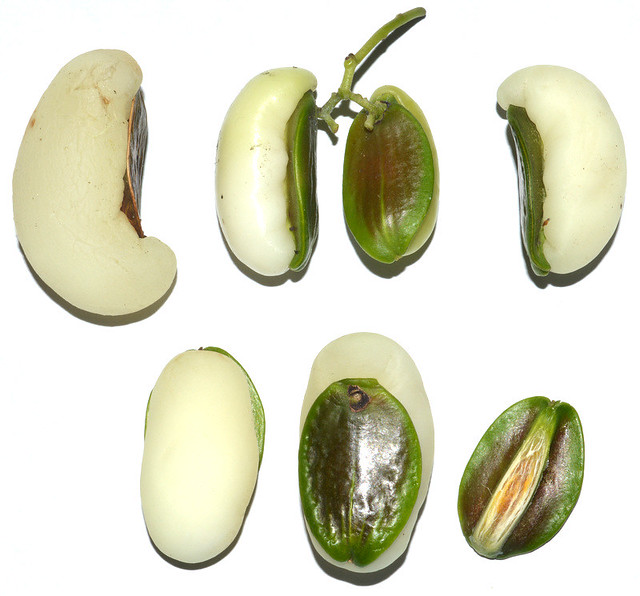 Irvingbaileya australis DSC_1361