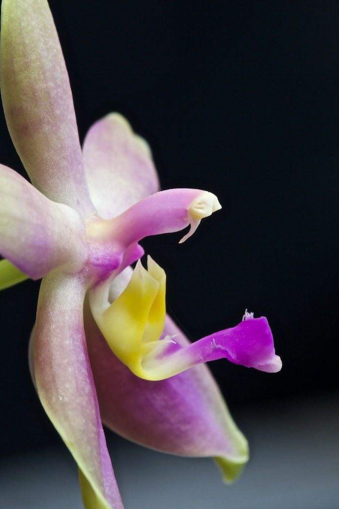 Phalaenopsis valentinii x bellina 21950994898_e6f8241f6d_b