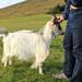 Icelandic Goat Center, near Reykholt by alykat