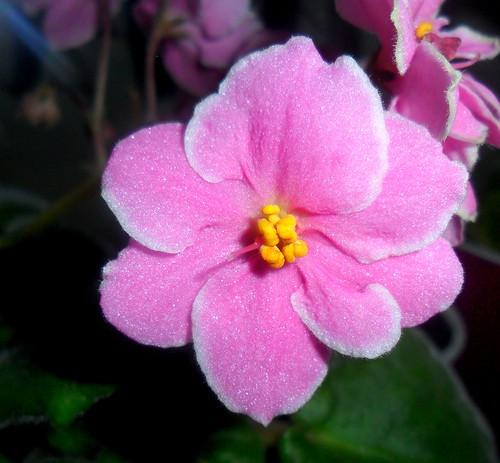 pink flower colour nature colorful random viola