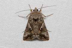 Autographa californica (Alfalfa Looper Moth) Hodges # 8914