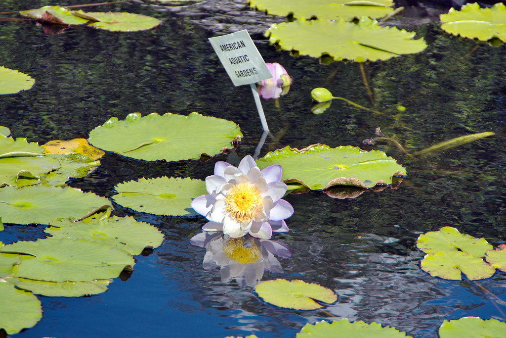 New Orleans Botanical Garden Water Lilies Donated And Ma Flickr