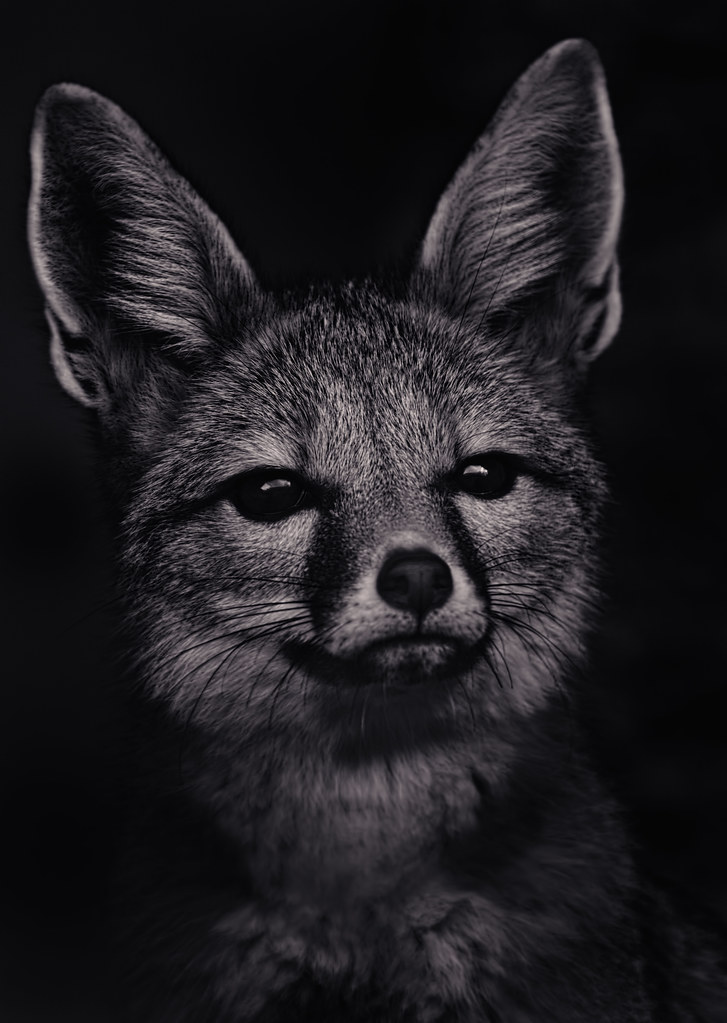 San Joaquin Kit Fox