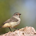 Small photo of Buff-rumped Thornbill (Acanthiza reguloides)
