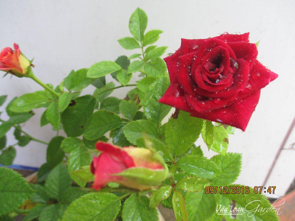 Hocus Pocus Kordana rose (7)-vuonhongvanloan.com