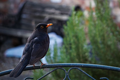 167/365v3 - Blackbird (Turdus merula)