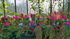 hyacinths in the main range