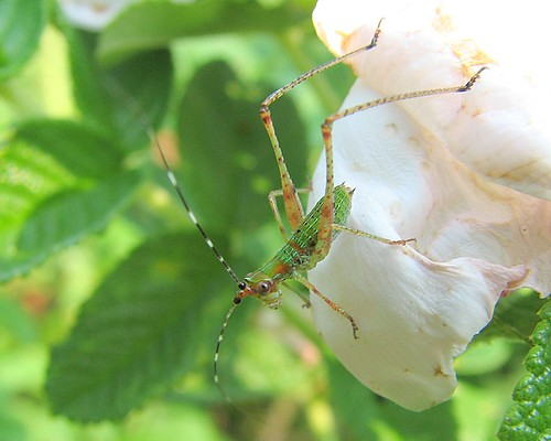 fork-tailed bush katydid nymph (Scudderia furcata) on Rugosa rose petal