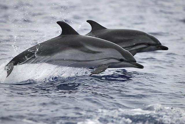 дельфин чёрно белый фото