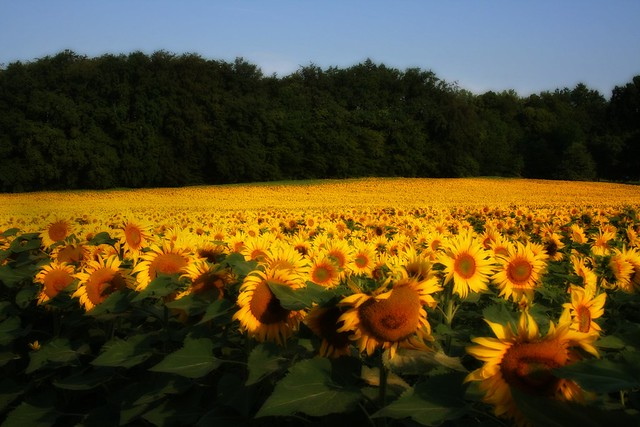 Sunflower field this morning on the way to work