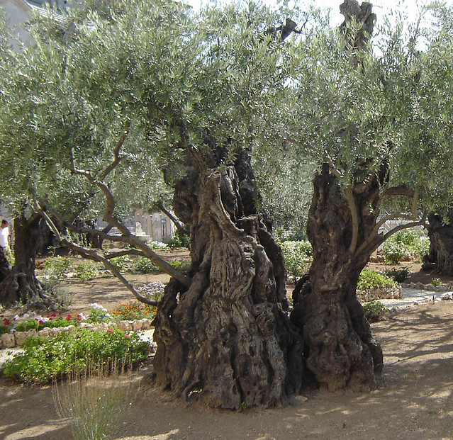 Ancient olive tree in the garden of gethsemane flickr for Age olive trees garden gethsemane