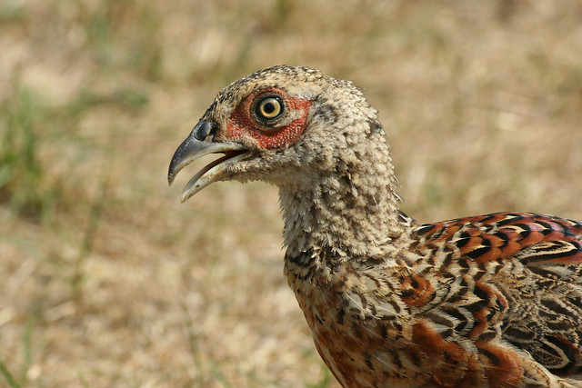 A young male pheasant ...