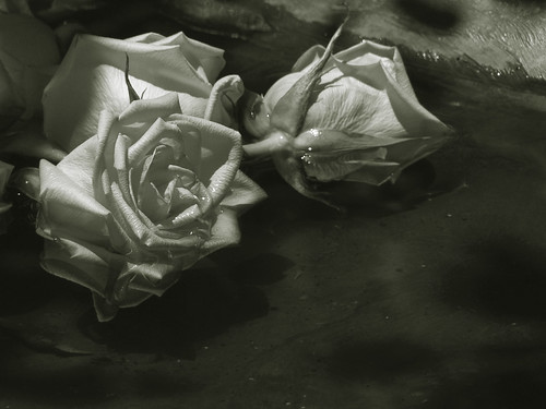 Rose Trilogy duotone