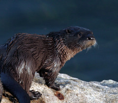 animal, mustelidae, mammal, fauna, sea otter, marmot, whiskers, mink, wildlife,