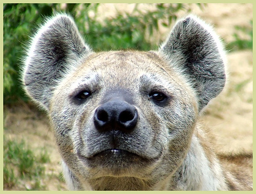 young male  spotted hyena close