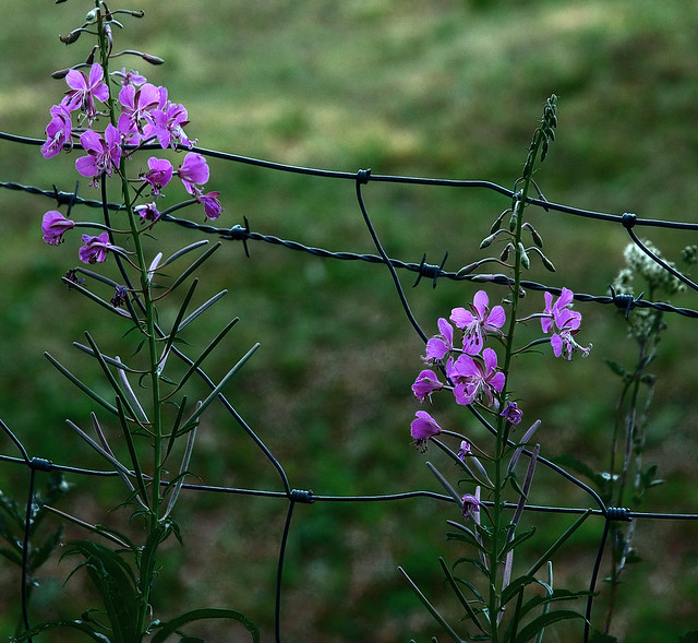 Purple flowers and barbed wire flickr photo sharing