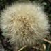 Fluffy dandelion again