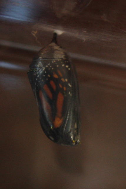 chrysalis with visible butterfly wings