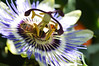 British Honey Bee & Passion Flower No.1 by SarahKettle