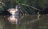 American Wigeon - Anas americana