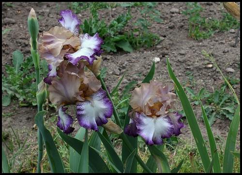 Iris Floorshow