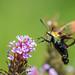 Hummingbird Moth On Butterfly Bush by Bill Varney