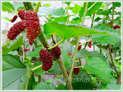 Morus nigra with edible mulberries (Black Mulberry, Blackberry, Indian/Persian Mulberry, Silkworm Mulberry, Hei Sang in Chinese), Aug 26 2015