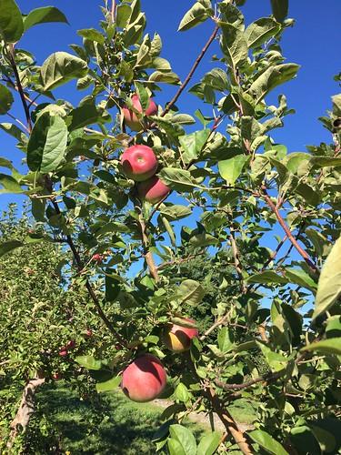 McIntosh apples on the tree