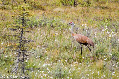 Sandhill Crane, Clam Gulch, Kenai Peninsula, Alaska