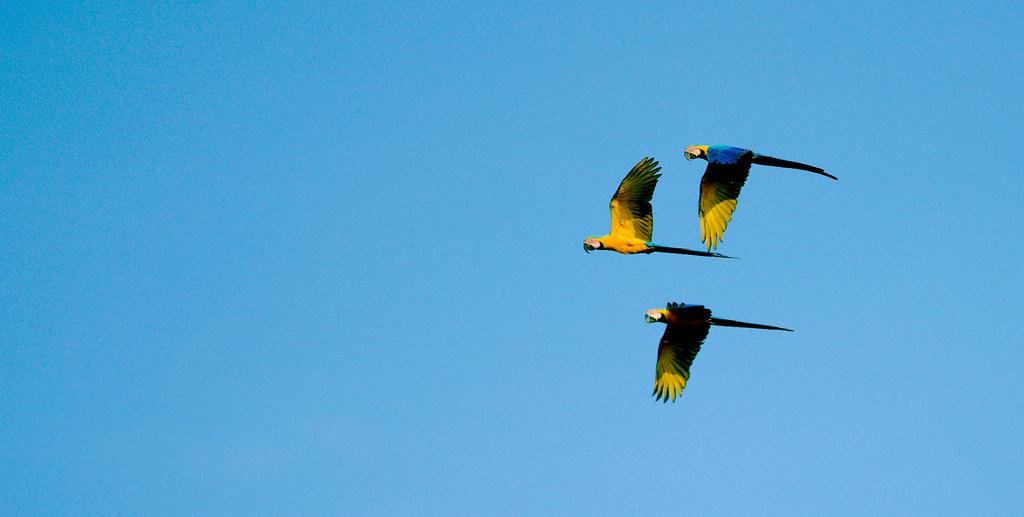 Macaw_8