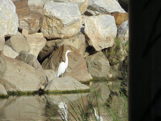 creek egret