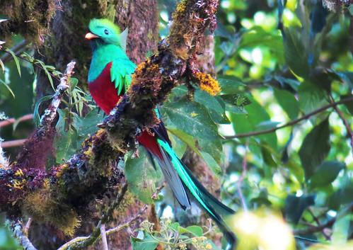 Costa Rican Quetzel - Male